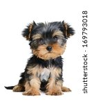 Stock photo yorkshire terrier puppy the age of month isolated on white 169793018