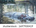 Hippopotamus Resting Inside Th...