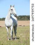 Amazing Lipizzaner Horse On...