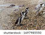 Magellanic Penguins Resting An...