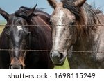 Two Horses Behind A Barbed Wir...
