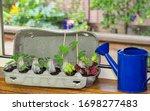 Vegetable Seedlings Growing In...