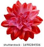 Dahlia Flower Red. Flower...