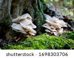 Forest Mushrooms On A Rotting...
