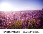 Sunset Over A Violet Lavender...