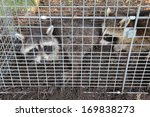 Two Small American Raccoons ...