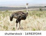 A Beautiful Female Ostrich ...