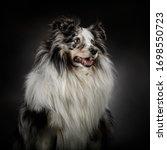 Portrait Of A Nice Shetland...