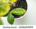 Lemon Tree With Large Colored...