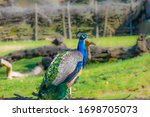 Indian Peafowl  Blue Peafowl ...