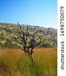 Dead Tree In Grassland On...
