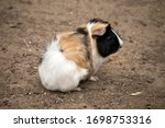 The Abyssinian Guinea Pig Is...