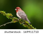 A Male House Finch Perches Of ...