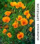 Close Up Of Orange California...