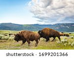 A herd of bison graze along the roadway in the Lamar Valley at Yellowstone National Park in Wyoming.