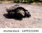 A Baby Snapping Turtle On A...