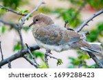 Wild Streptopelia Chick Sittin...