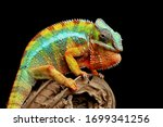 Beautiful Of Chameleon Panther...