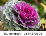 Beautiful Ornamental Purple...