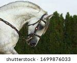 Andalusian Dapple Gray Saddle...