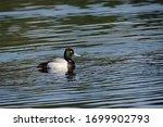 A Ring Necked Duck On Phanton...