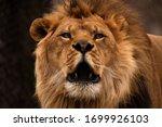 Portrait Of A Male African Lion