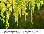 Pollen Of Birch Tree Blossom I...