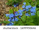 Virginia bluebells on an...