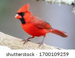 Small photo of Male red northern cardinal in Michigan.