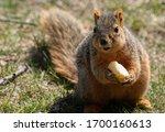 Eastern Fox Squirrel Looking...