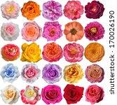 the rose blooms | Shutterstock . vector #170026190