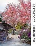 Beautiful Wild Himalayan Cherry ...