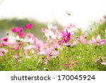 Cosmos Flowers In The Rama 9...