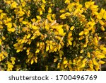 Ulex  Commonly Known As Gorse ...