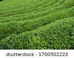 Green Tea Field In Boseong ...