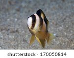 Small photo of Black-banded Damselfish (Amblypomacentrus breviceps) in the waters of indonesia