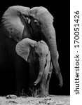 Stock photo black white image of a mother elephant protecting her baby 170051426