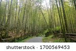 The beautiful bamboo forest at...