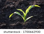 a stalk of young corn sprouted... | Shutterstock . vector #1700662930