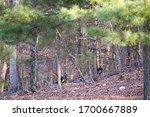 Two Large Male Wild Turkeys...