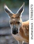 australian big red kangaroo in... | Shutterstock . vector #170082473