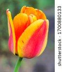 Bicolor Tulip Falcon Or Tulip...