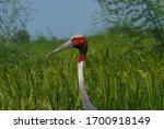 Sarus Crane Is One Of The...