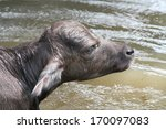 a young water buffalo closeup... | Shutterstock . vector #170097083