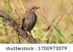 Common Starling  Sturnus...