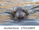 Grey Seal Close Up Portrait...