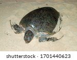 Green Turtle On A Beach Of Cape ...