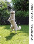 white shepard jumping at water droplets berger blanc suisse
