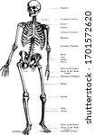 human skeleton standing upright ... | Shutterstock .eps vector #1701572620