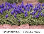 A Group Of Grape Hyacinth ...